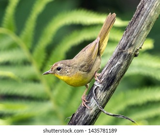 Closeup of a small North American songbird,Common Yellowthroat perching on a branch in Ontario. Background is bokeh green.Scientific name of this bird is Geothlypis trichas.