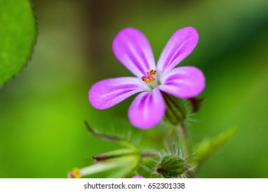 Closeup of small pink geranium flower on the green background macro shot