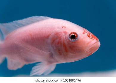 Close-up small pink and orange fish in the aquarium.