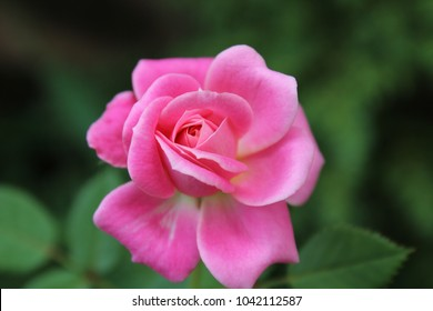 Close-up of a small pink rose with a soft-focused background.