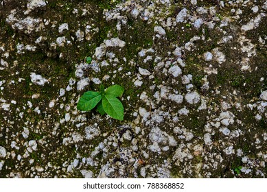 The closeup of small plant in a dry and stony terrain. Sprout  breaks the stony ground.Green sprout of a plant makes the way through a crack stony ground. Ecology concept. Rising sprout on dry ground.