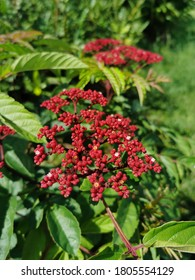 A closeup of small red flowers on shrub of Leea Rubra. Many called it as  Red Leea plant or Leea Rubra Blume