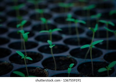 Closeup of small saplings in garden , young spruce seedlings , Agriculture and Seeding Plant , Group of green sprouts growing out from soil/Sapling in the greenhouse