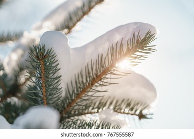 closeup small spruce tree in warm morning after snowfall