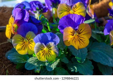 Closeup of small yellow and blue pansies flowers on a bed
