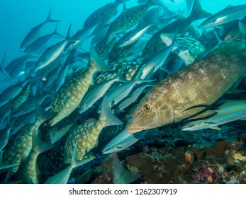 Closeup of Smalltooth Emperor fish in a large flock of fish in the Indian ocean