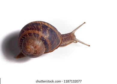 Close-up of a snail on white background