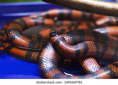 closeup snake in the terrarium