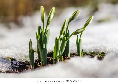 Closeup of snowdrop flowers growing in thawing snow. Soft focus image of first spring sign or 8 March sign.