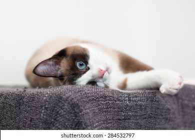 Closeup of Snowshoe cat on white background