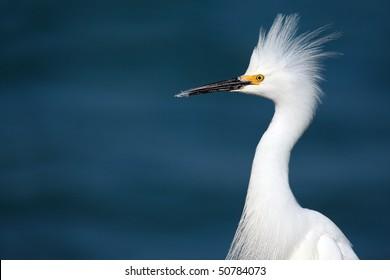 Closeup of a Snowy Egret displaying defensive behavior.