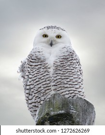 Close-up of Snowy Owl perched on wooden post