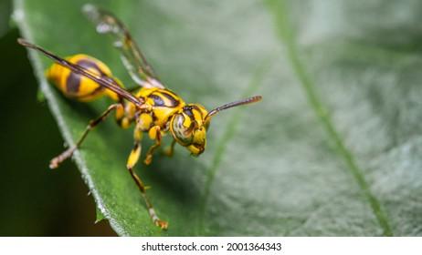 Close-up Of Social Wasp Insect