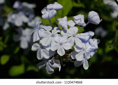 Close-up of soft blue flowers in the summer garden. Macro photography of nature.