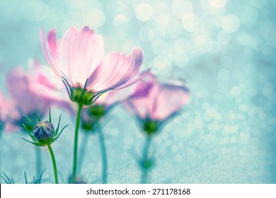 closeup soft focus on  cosmos flowers with bokeh lighting