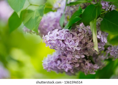 Closeup of soft Purple Lilac Flowers in Spring