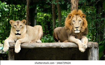 Closeup solemn male and female Lions lying on artificial wood bench looking at camera with green nature background.