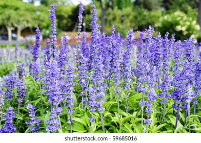 closeup of some lavender flowers in a garden