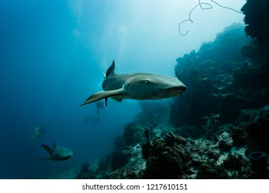 Closeup of some nurse sharks pursued by divers swimming by toward photographer