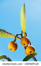 closeup of some ripe loquats hanging from a branch of a loquat tree, against the blue sky