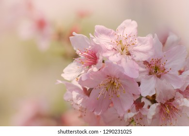 Close-up of Someiyoshino Cherry Blossom (Sakura) with blur background in spring.