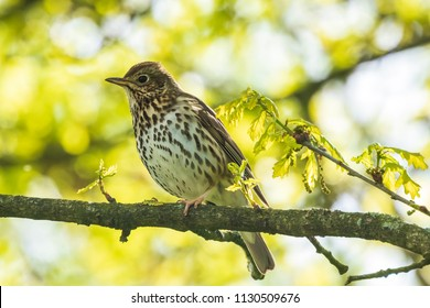 Closeup of a Song thrush Turdus philomelos bird singing in a tree during Springtime season.