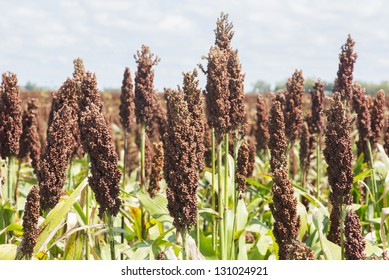 Close-up to a Sorghum bicolor field at Santa Fe, Argentina