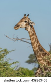 Close-up of South African giraffe with oxpecker