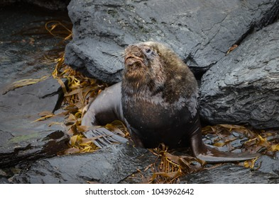 Close-up of a South American Sea Lion bull lying on the coastal area in Falkland islands.