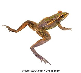 Closeup of a Southern Leopard Frog With Legs Spread Wide Apart Isolated on White