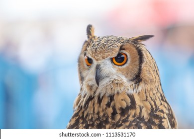 Closeup Spanish Owl Stock Photo Edit Now 1113531170