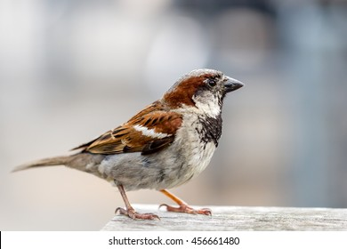 closeup of a sparrow on a wooden table against a grey background