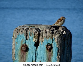 Closeup of sparrow perching on wharf bollard at Petone beach Wellington harbour New Zealand