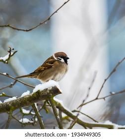 Nahaufnahme einer Sperlinge, die auf einem schneebedeckten Baum sitzt