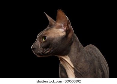 Closeup Sphynx Cat in Profile view isolated on Black Background