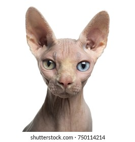 Close-up of a Sphynx looking at the camera, with wall eyes, 4 years old, isolated on white
