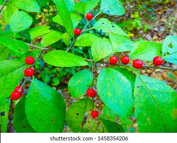 Closeup of a spicebush in the woods with ripe berries.