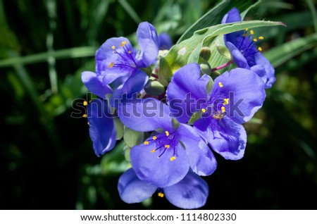 closeup of spiderwort plant or tradescantia ohiensis in full bloom revealing petals and stamens