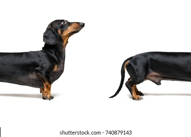 Close-up split a part  dog, breed dachshund, black tan, isolated on white. copy space, place for writing letters