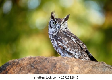 Close-up Spotted eagle-owl, Bubo africanus, isolated on a granit rock, staring directly at camera by yellow eyes. Wild owl against green background, wildlife photography in Lake Chivero, Zimbabwe.