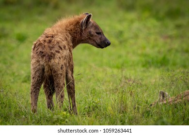 Close-up of spotted hyena looking towards another