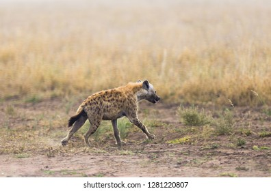 "Closeup of Spotted Hyena (scientific name: cCrocuta crocuta, or ""Fisi madoa"" in Swaheli) in Tanzania"