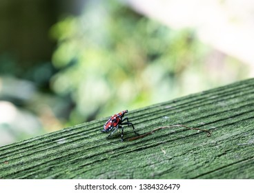 Close-up of spotted lantern fly, red nymph stage sits on wood fence before hopping away, Berks County, Pennsylvania.