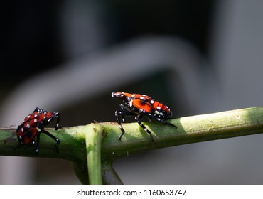 Close-up of spotted lanternfly nymph on grape vine, Berks County, Pennsylvania.