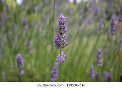 Closeup of Sprig of Purple Lavender Flower