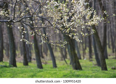 Closeup spring blossoming tree brunch in forest