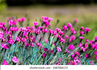 Close-up of spring ground cover pink floral Dianthus gratianopolitas