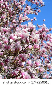 Closeup spring magnolia tree blossom