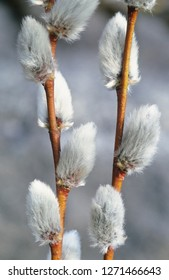 Close-up of spring pussy willow branches. Selective focus.