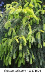 Close-up of springs of fir-tree as wallpaper or background